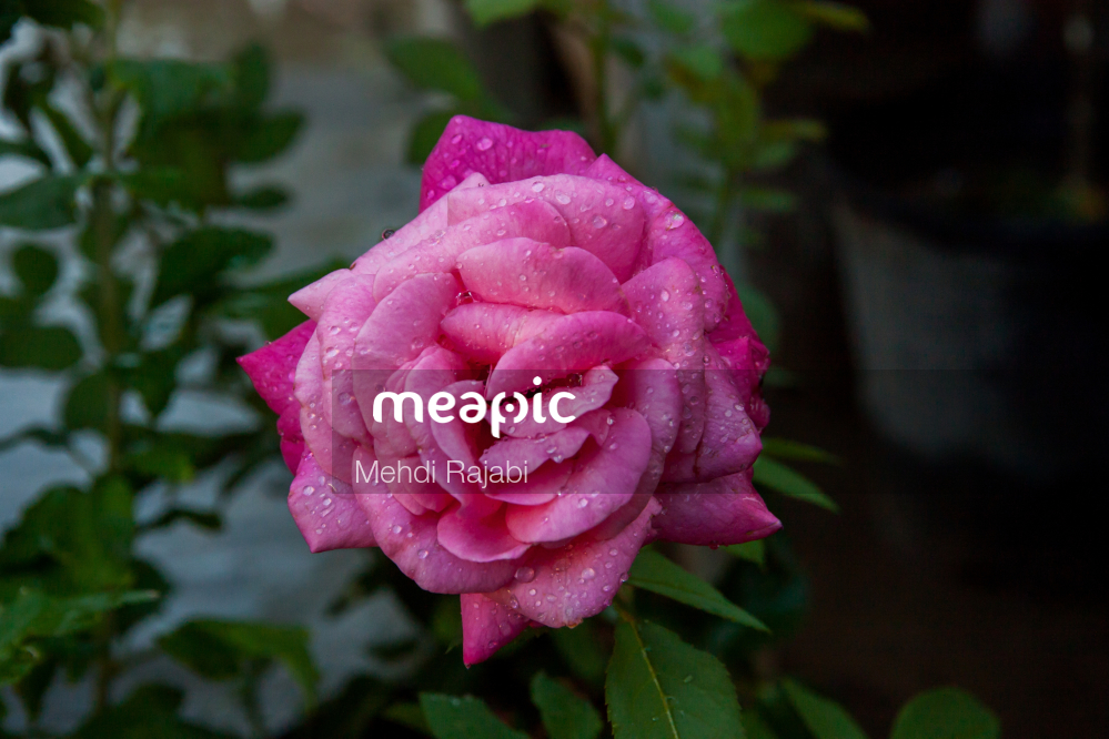 Close Up Of A Pink Flower On A Plant Stock Photo · Meapic