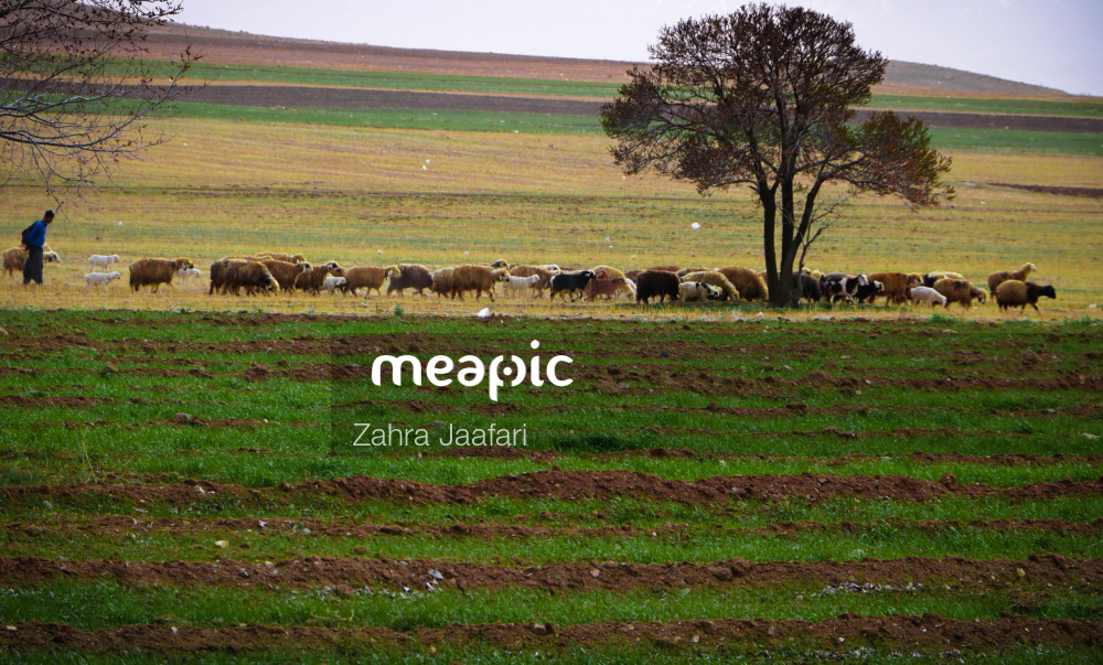 Herd Of Cattle Grazing On A Lush Green Field Stock Photo · Meapic