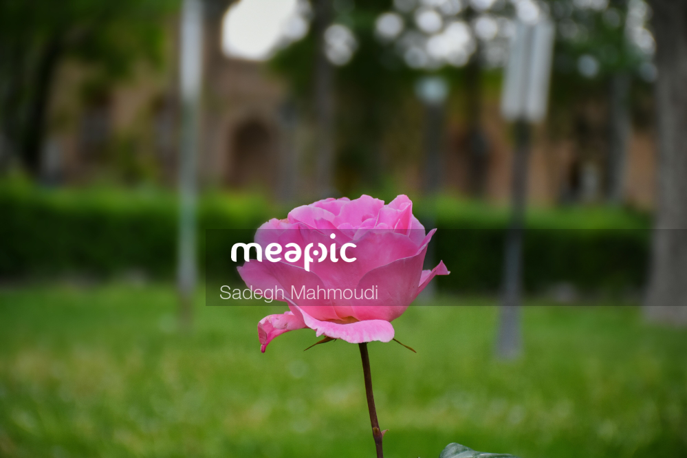 Pink Flower Is Standing In The Grass Stock Photo · Meapic