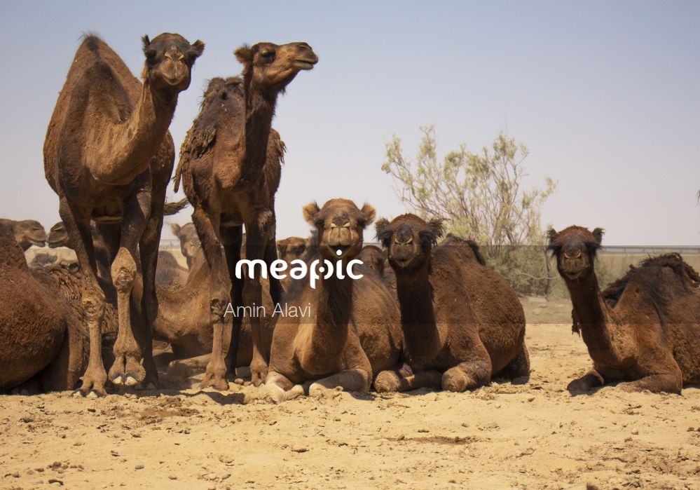 Herd Of Elephants Standing Next To A Camel Stock Photo · Meapic