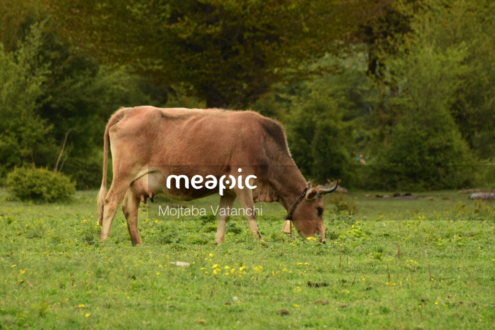 Cow Grazing On A Lush Green Field Stock Photo · Meapic