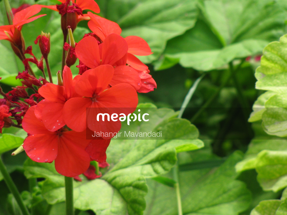 Close Up Of A Red Flower With Green Leaves Stock Photo · Meapic
