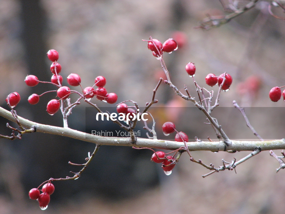 Red Apple Sitting On A Branch Stock Photo · Meapic