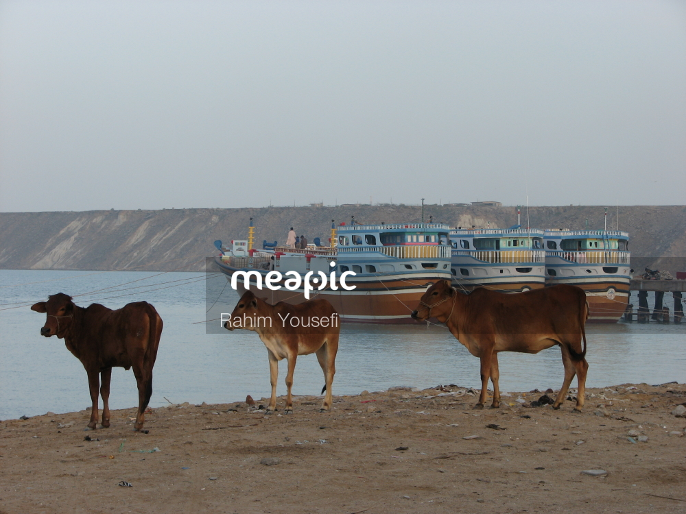 Group Of Cattle Standing On Top Of A Sandy Beach Stock Photo · Meapic