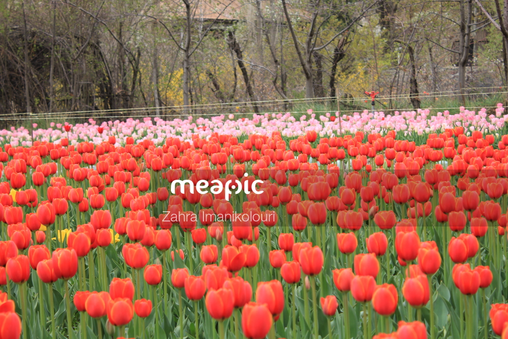 Group Of Orange Flowers In A Field With Keukenhof In The Background Stock Photo · Meapic