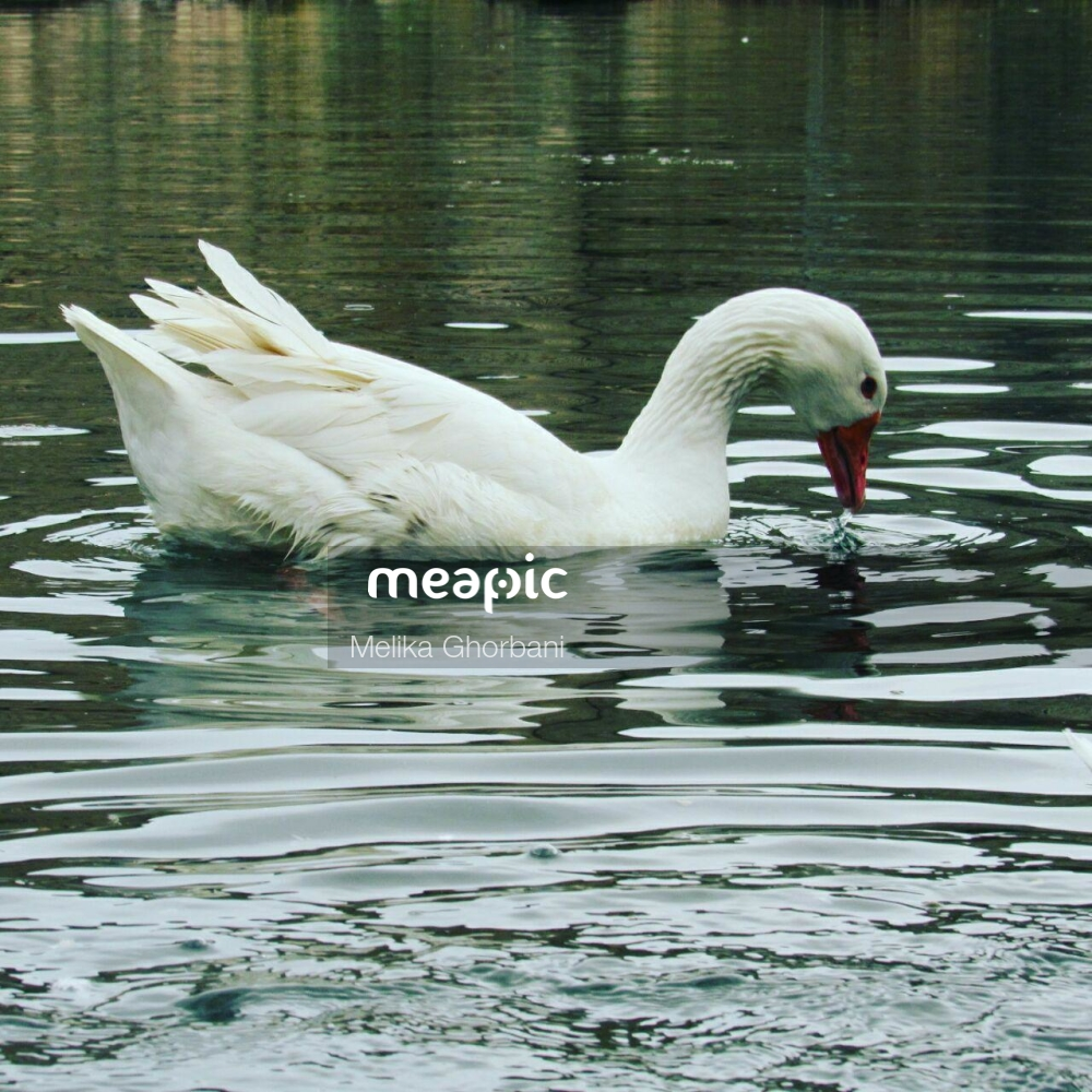 Swan Swimming In A Body Of Water Stock Photo · Meapic