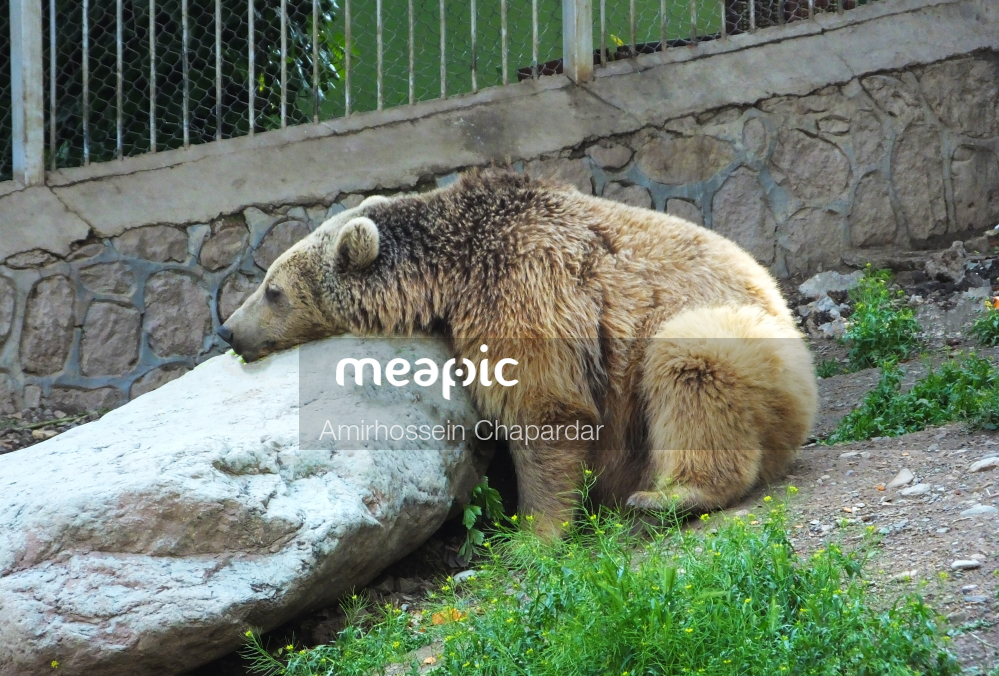 Polar Bear In A Zoo Enclosure Stock Photo · Meapic