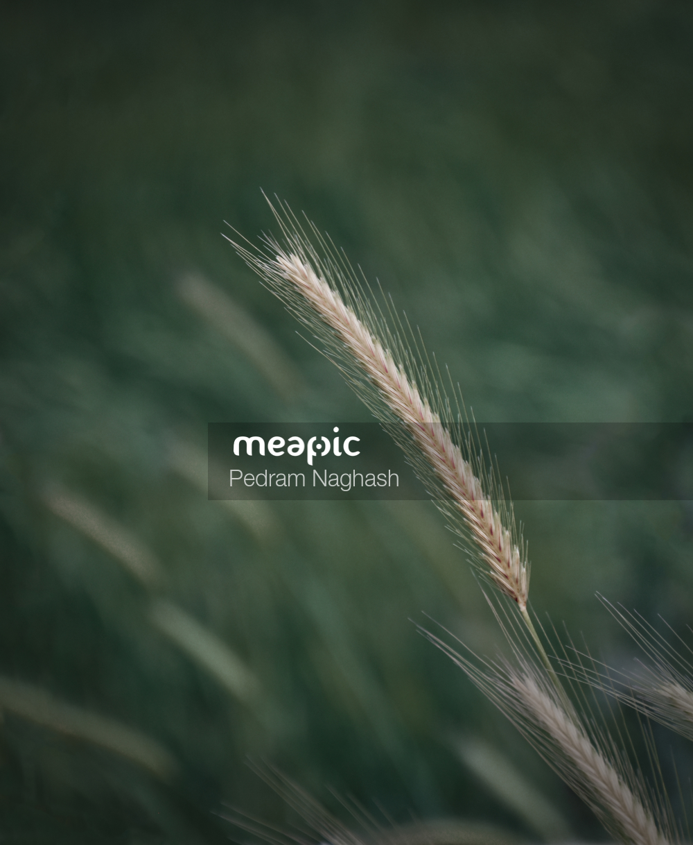 Wheat Stock Photo · Meapic